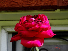 (pat.bluey) Tags: flowers redrose australia newsouthwales 1001nights mygarden 1001nightsmagiccity