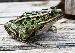 Northern Leopard Frog (Boganeer) Tags: nature animal fauna canon amphibian frog spots maritime princeedwardisland spotted rana canoneos pei maritimes grenouille herpetology atlanticcanada leopardfrog northernleopardfrog ranapipiens lithobates lithobatespipiens canon600d canoneos600d canont3i canonrebelt3i