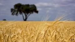 La Manchuela. Junio 2015_1 (MSB.Photography) Tags: españa planta nature field clouds landscape spain wheat sony paisaje alimento campo aire libre trigo albacete hierba nex7