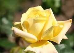 05-IMG_4232 (hemingwayfoto) Tags: rose flora pflanze gelb blume blte stadtpark botanik blhen gloriadei duftend edelrose rosengewchs teehybride