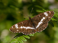White Admiral (microwyred) Tags: butterfly wildlife whiteadmiral monkwood