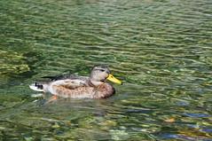 Kaczka | Duck