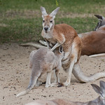 "Kangaroo lunchtime<a href=""http://www.flickr.com/photos/28211982@N07/19151980613/"" target=""_blank"">View on Flickr</a>"