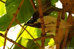 Blue-faced Honeyeater (jmck1989) Tags: nature birds animals wildlife bluefacedhoneyeater honeyeater