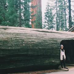 ความสวยของธรรมชาติ ถูกสองมือของมนุษย์ทำลาย เปลืองไม้ของต้นไม้ใหญ่หลายพันปี ถูกมนุษย์ต่างแกะสลัก ขีดเขียนชื่อของตนเองและคนรักลงไป Stupid human destroy the beauty of nature. Why they love to write their name on trees? #sequoia #neverstopexploring