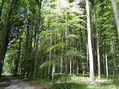 Haller forest (Joop van Meer) Tags: hallerbos 2015 gr12