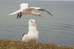 DSC_9399Wenkbrauwalbatros : Albatros a sourcils noirs : Diomedea melanophris : Schwarzbrauen-Albatros : Black-browed Albatross