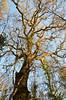 """Doré dans la lumière d'automne (Brigitte .. . """"Tatie Clic"""") Tags: 2016120621 automne décembre arbre lumière soleil branches arbrenu contreplongée sansretouche fabuleuse 7dwf"""