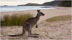 Skippy on the Beach, Australia (CvK Photography) Tags: animals australia autumn canon coast color cvk fall holiday kangaroo nature newsouthwales outdoor pebblybeach seascape waves wildlife australië au