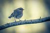17012016-2V4A6506 (vincentadamo.com) Tags: oiseau branche jaune rougegorge familier erithacus rubecula european robin