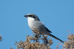 Loggerhead Shrike (SJDipper) Tags: birds shrikes