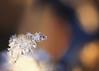 Behold your frozen heart (Emmanuelle2Aime2Ailes) Tags: macromondays inspiredbyasong frozenheart emilyjanewhite macro neige