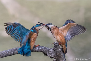 Kingfishers fighting with beaks.