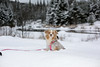 Laika Enjoying Winter near Mont-Tremblant, Canada (ynaka29) Tags: laika dog aussie toyaussie australianshepherd toyaustralianshepherd redmerle