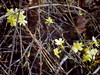 forsythia in bloom, ml king jr day (EllenJo) Tags: january2017 ellenjo 2017 pentaxqs1 pentax home ourhouse bloom flower january16 earlybloomer forsythia yard yellow