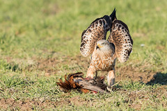 Red Kite Jan 2017 (h) (jgsnow) Tags: bird raptor redkite feeding ngc npc