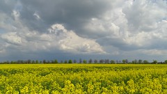 stormy (JoannaRB2009) Tags: landscape view nature clouds sky weather tree trees plants alley avenue field flowers canola łódzkie lodzkie polska poland yellow green spring