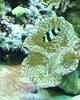 Tridacna Clam and Damselfish (Spherical Bull) Tags: damselfish tridacnaclam tridacna pittsburghaquarium aquarium