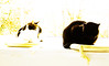 the two ladies (PDKImages) Tags: cat black ragdoll monochrome pet animal feline blackcat asleep eyes calming