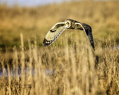 Working The Fields....Short-Eared Owl, Western Washington (Hawg Wild Photography) Tags: shortearedowl shorteared owl owls raptor raptors bird birds of prey nature wildlife animal animals pacific northwest western washington terrygreen nikon nikon600mmvr d810 hawg wild photography