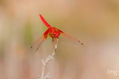 Orange-Winged Dropwing (macho/male) (Teo Martínez (temege)) Tags: odonatos libélulas anisópteros dragonfly insectos insects invertebrados naturaleza nature macro salinas alicante 105mm nikon red rojo trithemis kirbyi fly