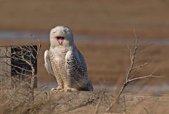 Snowy owl: Bubo scandiacus - F - (Explored) (renzodionigi) Tags: aves strigiformes strigidae bubo gufodellenevi newhampshire