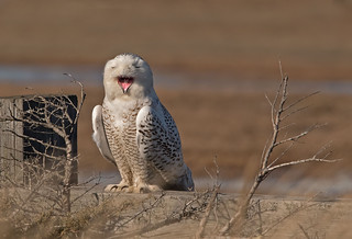 Snowy owl: Bubo scandiacus - F - (Explored)