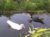 friends (simon mes) Tags: eend duck ducks westzaan waterbirds