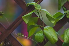 Fence Leaves (hksergiso) Tags: hongkong fence leaves plant canon 香港 欄柵 葉 植物