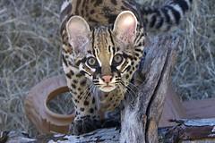 Say hello to my little friend (ucumari photography) Tags: ucumariphotography ocelot animal mammal cub baby nc north carolina zoo january 2017 carnivore leoparduspardalis dsc4017 specanimal