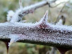 Frosty Bramble (seanwalsh4) Tags: frozen frosty bokeh macro bramble winter chilly nature flickr canon photo sean walsh bristol knowle england