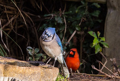 Will He Ever Finish? (Gabriel FW Koch) Tags: cardinal bluejay jay songbirds canon sigma telephoto wild wildlife red blue water backyard bokeh depthoffield