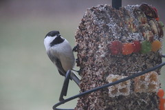 231/365/3153 (January 28, 2017) - Black-capped Chickadee at the New Feeder (Saline Michigan) - January 28, 2017 (cseeman) Tags: feeders suet birds saline michigan blackcappedchickadee chickadee winter feeder backyard chickadee01282017 seedcylinder wildbirdsunlimitedseedcylinder wildbirdsunlimited 2017project365coreys yearnineproject365coreys project365 p365cs012017 356project2017