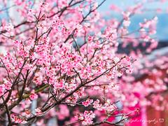 平菁街寒櫻 (紅襪熊) Tags: olympus omd em1 m43 micro43 microfourthirds olympusem1 sigma 150mm macro bokeh sigma150mmmacro apo f28 sigmaapomacro150mmf28 sigmamacro150mmf28 150mmf28 sigma150mmf28 sakura 櫻 櫻花 cherryblossoms pink flower flowers blossom blossoms cherry cherryblossom cherryblossomfestival cherrytree cherrytrees garden light nature park plant sky spring travel tree trees white さくら サクラ 春 桜 花 花見 賞櫻 粉 粉紅 陽明山 花季 賞花 平菁街 陽明山平等里 寒櫻