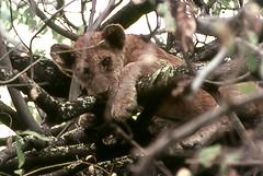 VI STO TENENDO D'OCCHIO !!!!!! (ADRIANO ART FOR PASSION) Tags: leone albero africa uganda murchisonnatpark ricordi scansione epson v550 cucciolo cucciolodileone