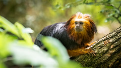 Golden-headed lion tamarin (John van Beers) Tags: netherlands zoo nl apenheul aap apeldoorn tamarin dierentuin gelderland leontopithecuschrysomelas goldenheadedliontamarin liontamarin goudkopleeuwaap