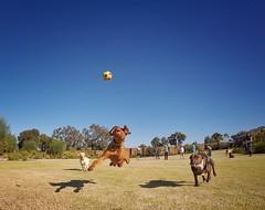 The incredible flying dog (Thirmr) Tags: dog flying jump flyingdog actiondog cooldog coth coth5