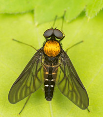 Golden Backed Snipe Fly top view Chrysopilus thoracicus (mandokid1) Tags: macro canon flies mpe65 mt24 5dmk111