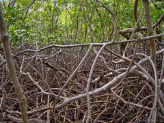 Noeuds de Mangrove (PaaulDvD) Tags: trip tree nature colors landscape holidays martinique mangrove antilles caraibes