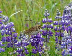 Savannah Sparrow Kodiak (dzittin) Tags: bird alaska sparrow savannah kodiak lupine