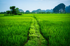 On the countryside near Ninh Binh (Joni Kantonen) Tags: travel people travelling field countryside vietnamese rice farming vietnam fields crops local farmer ninhbinh travelphotography tamcoc northvietnam