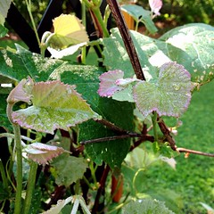 "Our Concord Grape vines are looking good this year. I have my fingers crossed that this will be the year that we harvest enough grapes to make a batch of jelly. We haven't had much success with these vines producing fruit, but they look lovely when they c • <a style=""font-size:0.8em;"" href=""http://www.flickr.com/photos/54958436@N05/18923389331/"" target=""_blank"">View on Flickr</a>"