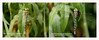 Nikon D7100 with macro lens vs D750 with 300 lens plus TC (Linz27) Tags: nikon dragonfly d750 comparison southernhawker nikon105mm d7100 14teleconverter staveleyywtreserve copyrightlindseybowes nikon300mmf4epfedvr