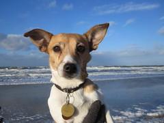Dicky! (DutchAir) Tags: dog love beach water netherlands strand golf blauw air nederland zeeland zee lucht huisdier dier jackrussel zand golven dicky ilovemydog blauwelucht dutchair