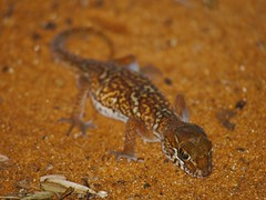 Madagascar Ground Gecko (Paroedura pictus) (Gregory Miles) Tags: africa nature reptile wildlife ground gecko madagascar pictus paroedura