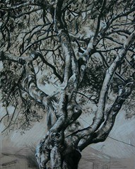 Local Fig Tree sketched with black and white charcoal on buff paper (Robyn Bauer) Tags: trees blackandwhite drawing australia brisbane charcoal figtree charcoaldrawings treedrawings urbansketchers