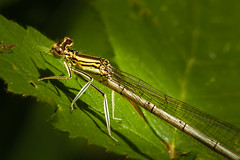 White legged damselfly  (eddie_austrums) Tags: whiteleggeddamselfly platycnemispennipes