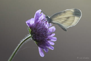 The Wood White, a delicate butterfly