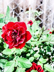 (Mr.Machain) Tags: red flower beautiful rose garden outdoors petals redrose rosepetals leafs rosegarden woodfence redpetals greenleafs rosetree loverose