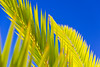 Palm tree leaves (rawyvandenbeucken) Tags: 2013 adejepark costaadeje lacaleta tenerife canaryislands october spain leaf tree sky palmtree blue green